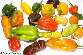 Capsicum - many Photos and information about peppers and chilis, Habaneros and other Capsicum s